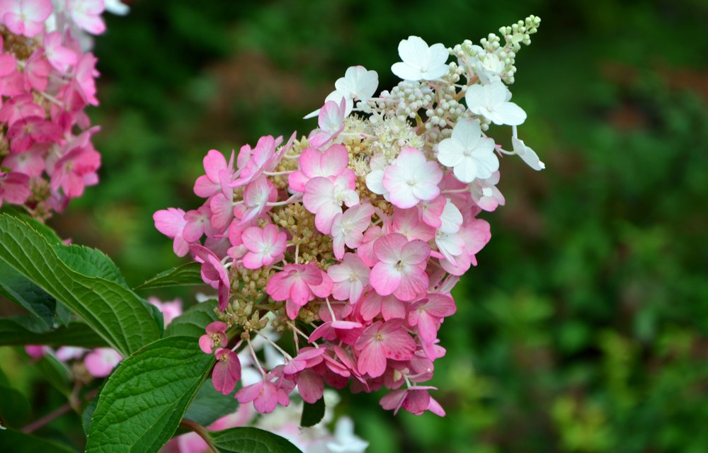 hortensia - de plant technicus