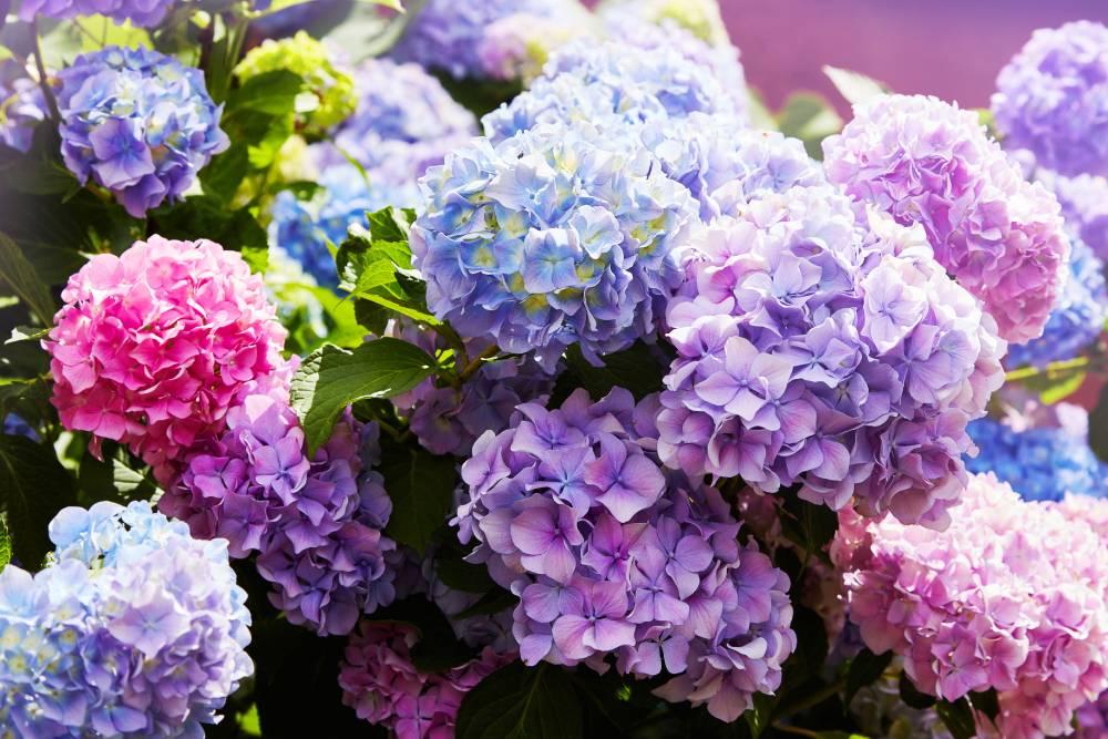 hortensia-de plant technicus