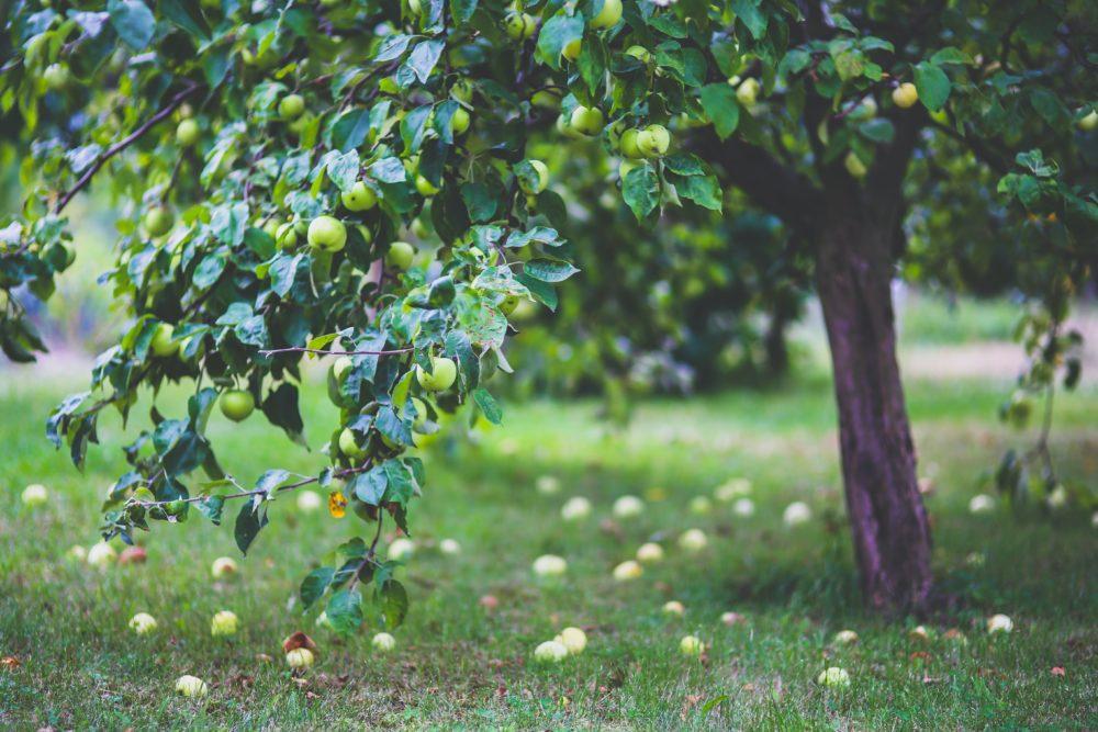 Fruitbomen onderhoud en snoeien – de plant technicus
