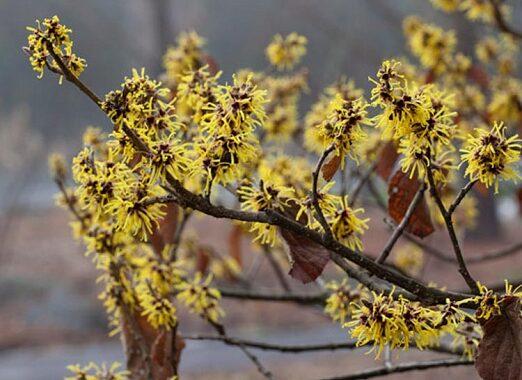 De plant Technicus - Winterbloeiers - Hamamellis