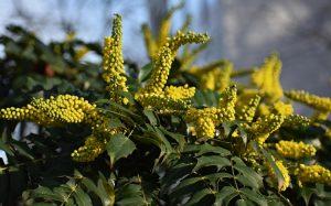 De plant Technicus - Winterbloeiers - Mahonia