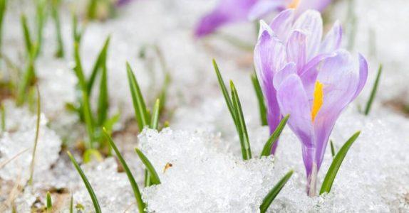 De Plant Technicus - Winter Krokus Sneeuw